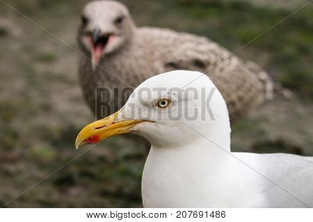 An adult Herring Gull with hungry chick begging for food behind with open beak