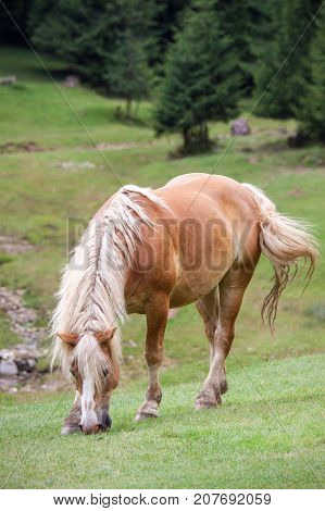 Sorrel horse is grazing in a green mountain meadow