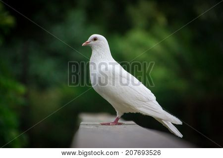 White dove on a wooden railing on a green background