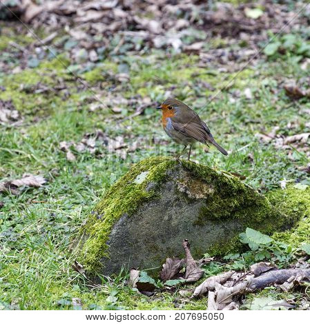 The European robin (Erithacus rubecula) known simply as the robin or robin redbreast in a square format