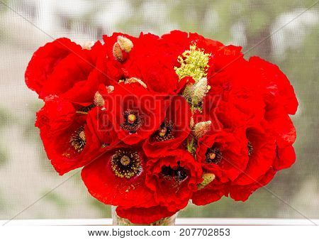 Bouquet Of Red Wild Flowers Of Papaver Rhoeas, Corn Field Poppy With Buds, Close Up