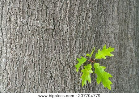 Yellow oak leaves against a background of oak bark. Autumn in an oak grove. Copy spaces.