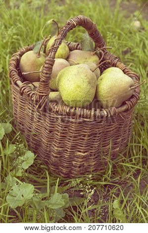 many big ripe pears in vintage wooden basket outdoor