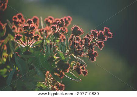 Hairy red flower buds of the Australian native Dwarf Apple tree