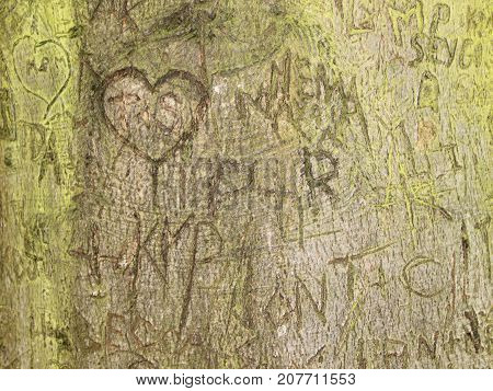 Initials Memory Carving in Alga Bark on Old Tree