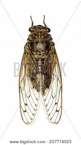 Cicada on white Background - Cicada orni (Linnaeus1758)