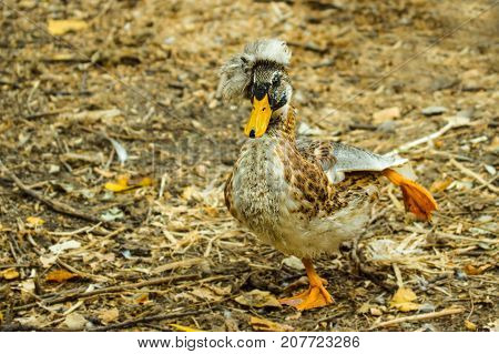 a bright duck with an orange beak and a tuft is standing on one foot stretching the second behind itself so she is posing on a blurred autumnal background of nature