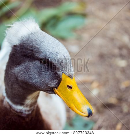 portrait of a bright duck with a gray head with a tuft and a yellow beak closeup