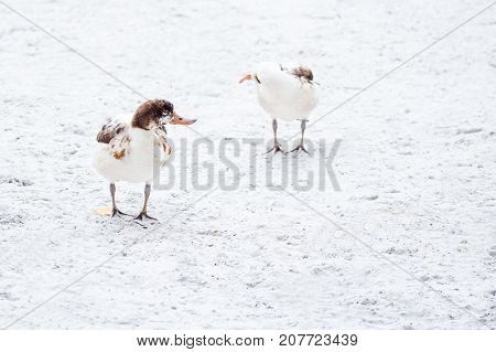 bright white duck with a brown head and an orange beak stands on the snow with their webbed feet