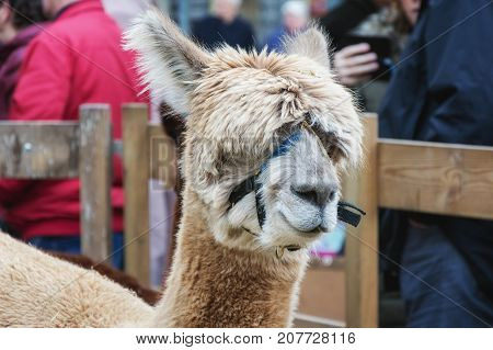 Portrait of a woolly alpaca at the fair in Deventer in the Netherlands