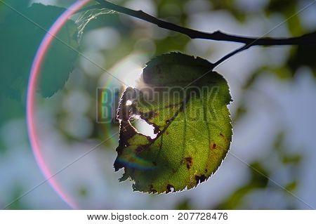 Transparent autumn leaf on twig with sun optical halo. Autumn season.