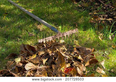 Dry leaves and old rake on grass in autumn garden