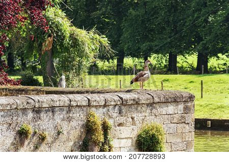 Goose on the lookout on the moat wall of Schaloen castle in Valkenburg The Netherlands