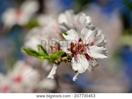Bright white flower of almond tree in full splendor