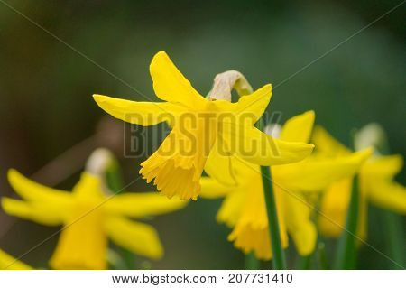 Close-up of beautiful yellow Daffodils in Spring. View on blooming Daffodils in the Morning. Garden Flowers. Blooming Flowers in Spring. Nature and Flower Backgrounds.