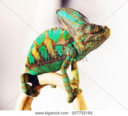 green chameleon  close-up  photo