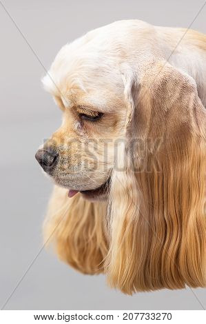 American Cocker Spaniyel, head with large drooping ears, close-up. Space under the text. 2018 year of the dog in the eastern calendar Concept: parodist dogs, dog friend of man, true friends, rescuers.