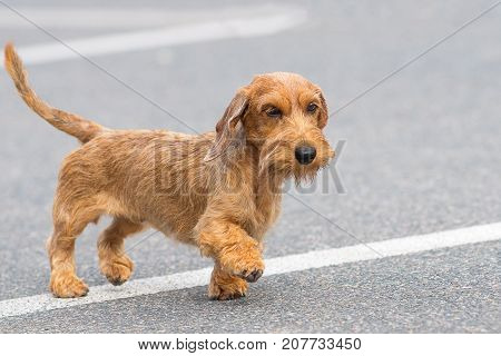 Terrier small dog runs along an asphalt road. Space under the text. 2018 year of the dog in the eastern calendar Concept: parodist dogs, dog friend of man, true friends, rescuers.