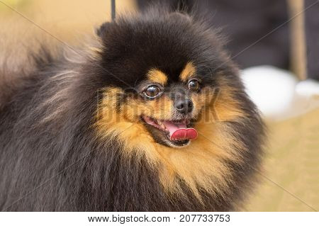 Dog Pomeranian Spitz of dark color looks into the camera opening his mouth and shows tongue, humor, positive emotions. Space under the text. 2018 year of the dog in the eastern calendar Concept: parodist dogs, dog friend of man, true friends, rescuers.