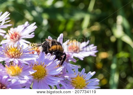 The Bumblebee Sitting On A Flower