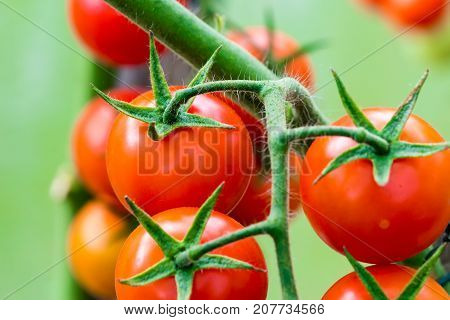 Growing Tomatoes In Greenhouse