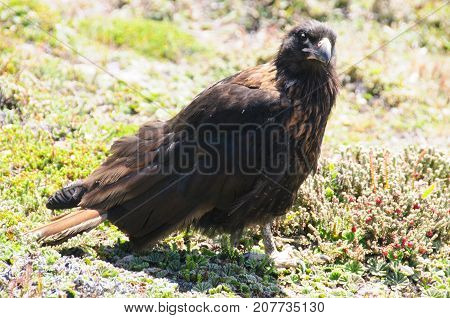 An exceptionally rare bird that only breeds on the remote outer islands of the Falklands, the Striated Caracara is also locally known as the Johny Rook. Westpoint Islands, Falklands
