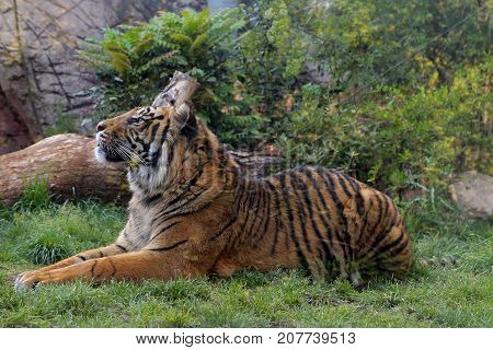Captive tigers in Bioparco at Rome - Italy
