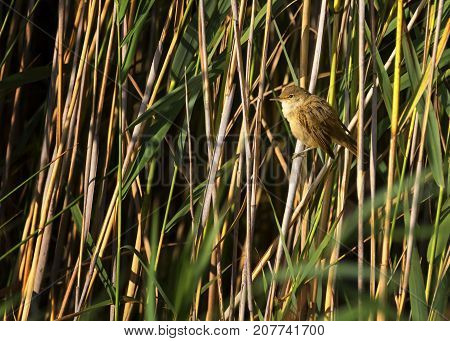 Eurasian reed warbler, acrocephalus scirpaceus, in the reed bed