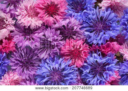 Organic background of blue, purple and pink cornflowers
