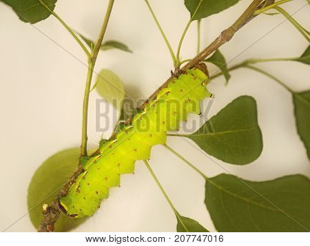 A big light yelowish-green caterpillar rests on a branch of a wild pear tree. The caterpillar is a larva of a large beautiful moth with long tails on its wings, Actias selene, or Indian moon moth.