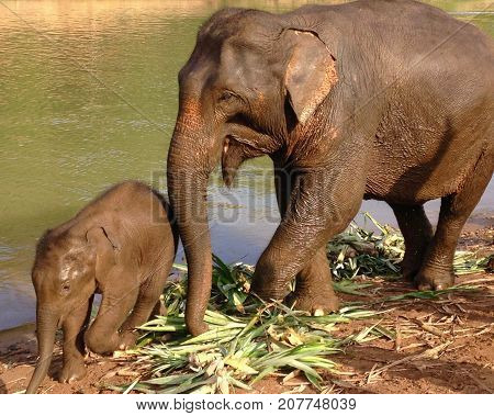 Mother elephant with baby elephant at Nam Khan River in Laos