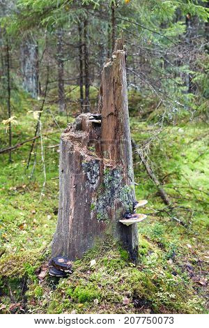 Old tall tree stump with fungus in forest in autumn
