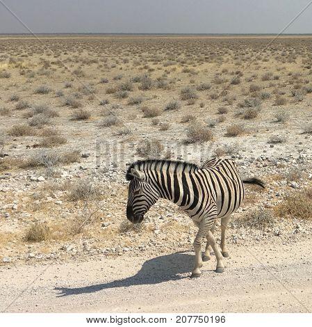 Burchell's zebra at Etosha National Park in Namibia
