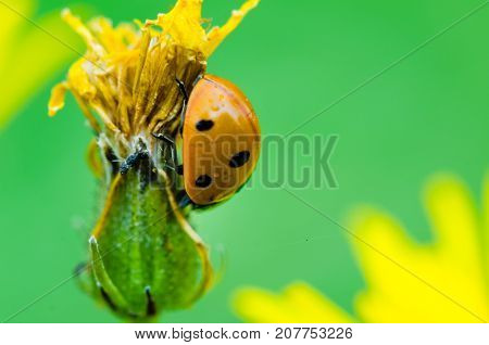 Seven-spotted Ladybird Crawling On A Yellow Flower