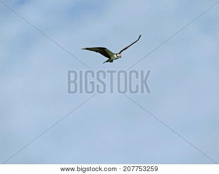 Osprey in Flight Ding Darling Wildlife Refuge Sanibel Florida