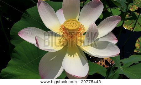 Lotus blossom on a Pond