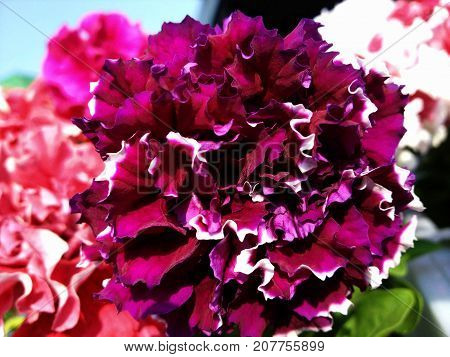 Terry colorful purple beautiful flower petunia in garden