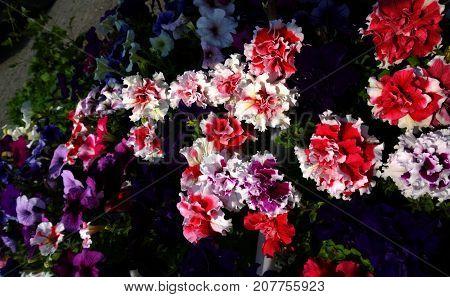 Terry beautiful colorful flower petunia in garden