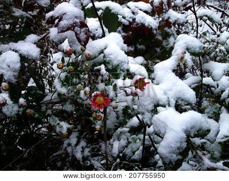 pink flowers under first snow on frozen flowerbed in autumn