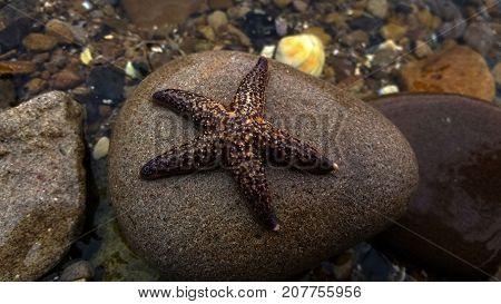 starfish on a stone on the seashore in Vladivostok