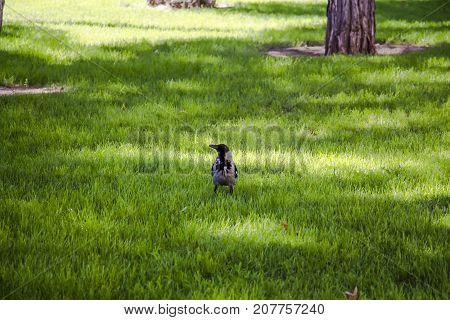 Magpie walks around the lawn looking around