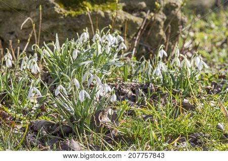 lots of snowdrop plants at early spring time