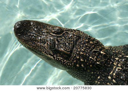 Gator Closeup In Swimming  Pool