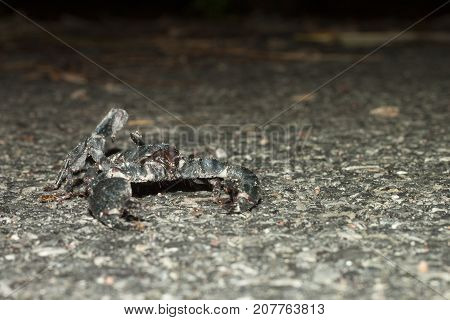 Black scorpion on the road with red ant on body.