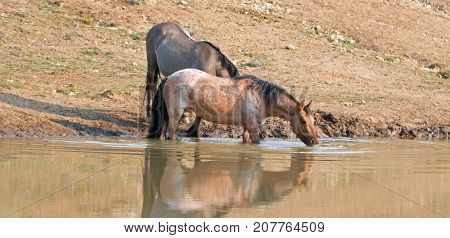 Wild Horses - Bay Red Roan and Grulla mares reflecting in the water while drinking at the waterhole in the Pryor Mountains Wild Horse Range on the state borders of Montana and Wyoming United States