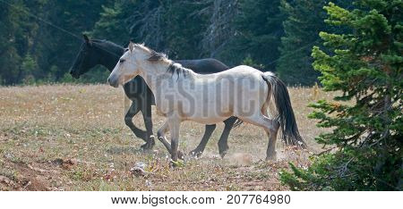 Apricot Dun Buckskin stallion and Black stallion wild horses running in the Pryor Mountains Wild Horse Range in Montana United States