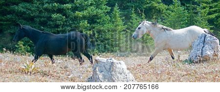 Black Stallion and white apricot dun buckskin stallion wild horses running in the Pryor Mountains Wild Horse Range in Montana United States