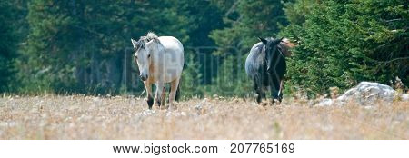 Apricot Dun Buckskin stallion and Black stallion wild horses walking in the Pryor Mountains Wild Horse Range in Montana United States