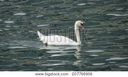 White mute swan swimming on moving river dark water