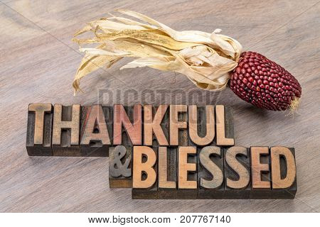 thankful and blessed - Thanksgiving theme - word abstract in vintage letterpress wood type with an ear of decorative strawberry corn